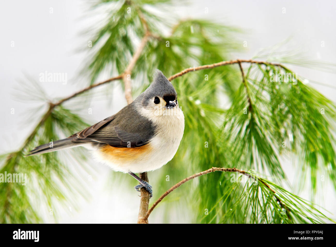 Winter Bird Tufted Titmouse On Pine Tree