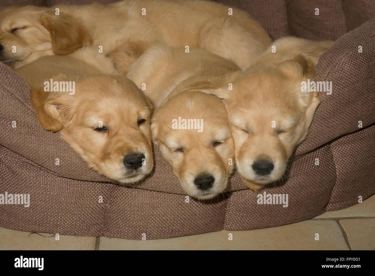 sleepy golden retriever puppies in soft basket - Stock Image