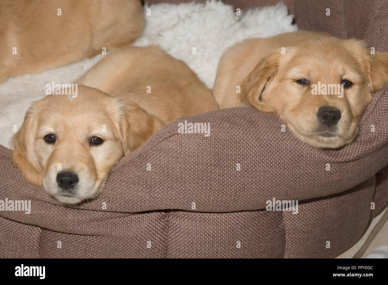 golden retriever puppies resting on fleece blanket on soft basket - Stock Image