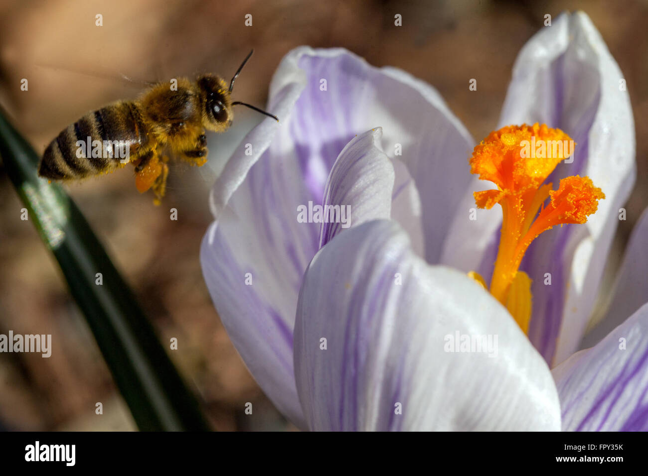 Crocus blooming and bee - Stock Image
