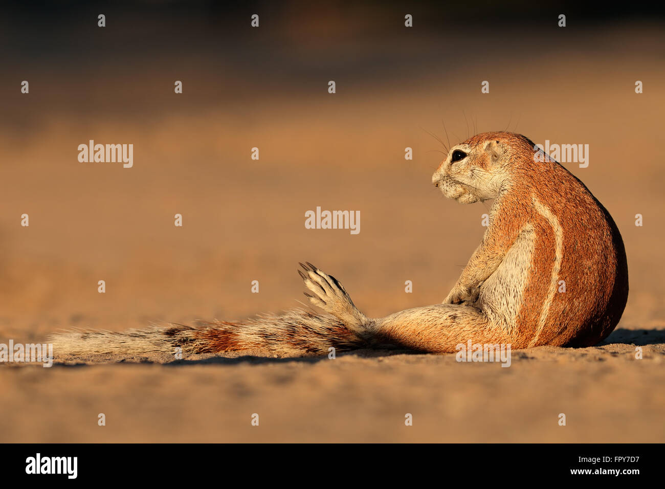 Ground squirrel (Xerus inaurus), Kalahari desert, South Africa - Stock Image
