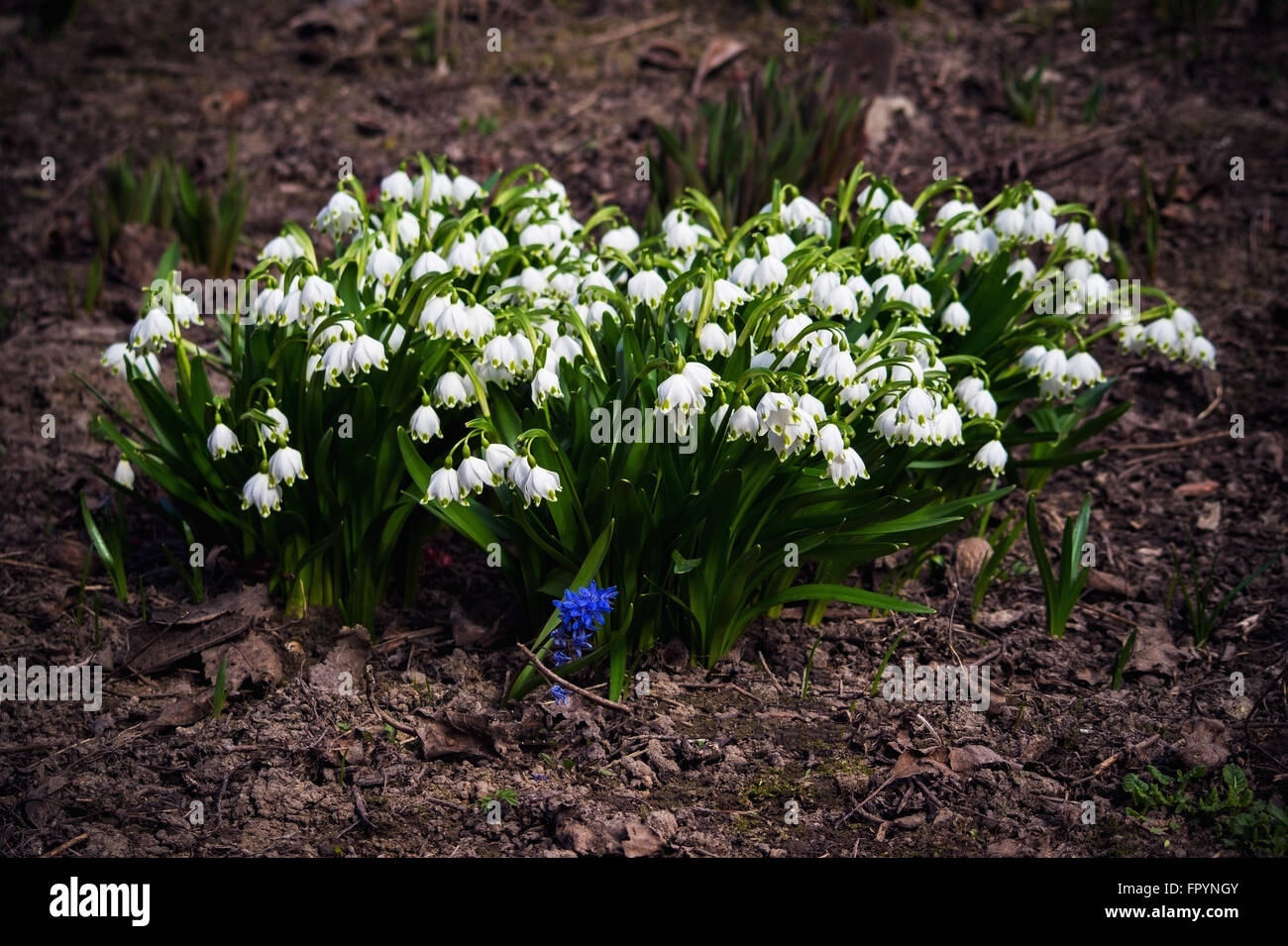 Snowdrops Are The First Spring Flowers That Bloom Early Spring They