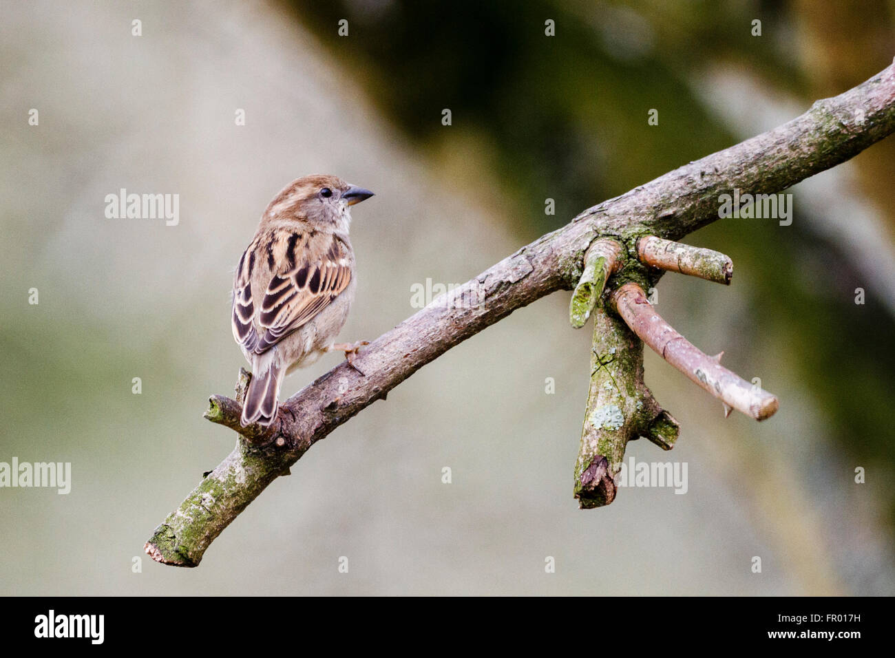 20th March 2016.  World sparrow day aims to raise awareness on conservation efforts for the House Sparrow (Passer - Stock Image