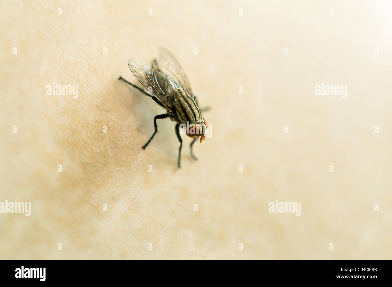 Closeup of housefly on yellow tile floor with copy space. Selective focus. Stock Photo