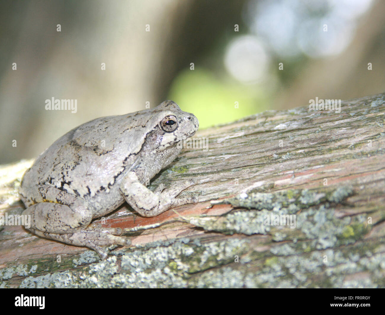 hyla versicolor or gray tree frog blends in on a cedar tree Stock Photo