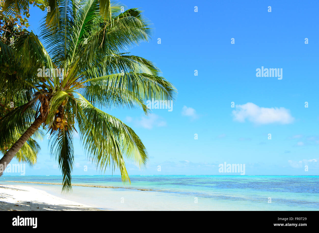 A coconut palm tree on a tropical white sand beach with a blue sea on Moorea, island of the Tahiti archipelago French - Stock Image