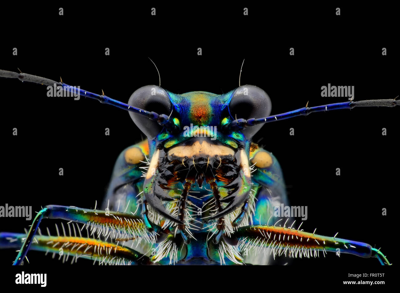 tiger beetle face isolated on black background - Stock Image