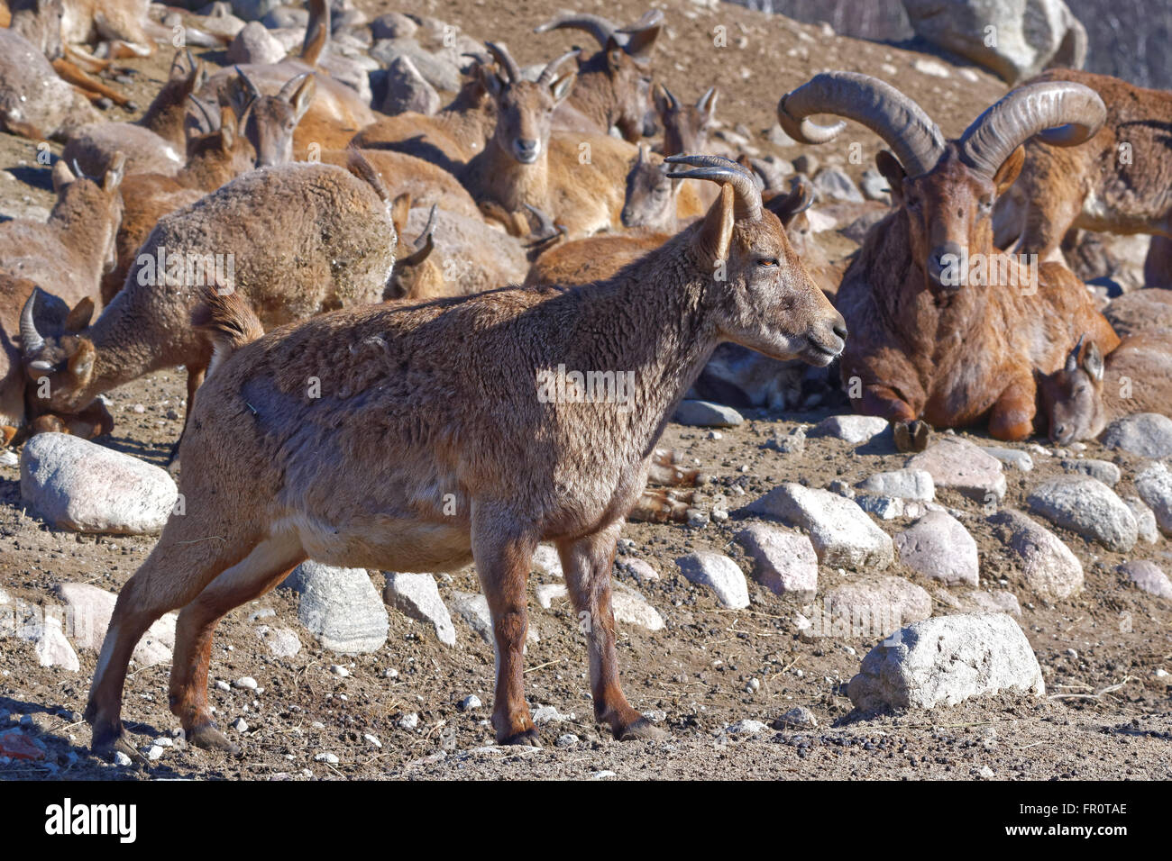East Caucasian tur or Daghestan tur (Capra caucasica cylindricornis) is a mountain-dwelling caprine in Eastern Caucasus. - Stock Image