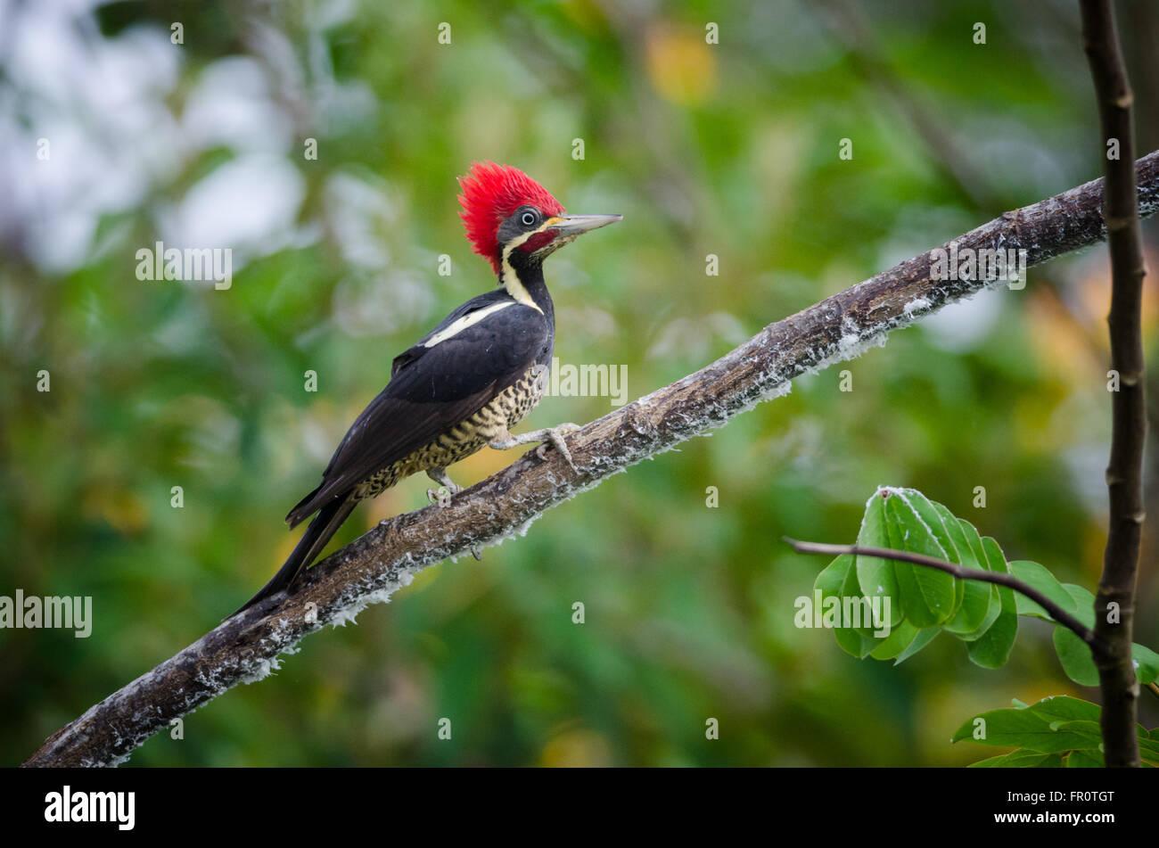 Lineated Woodpecker (Dryocopus lineatus), Cano Negro, Costa Rica - Stock Image