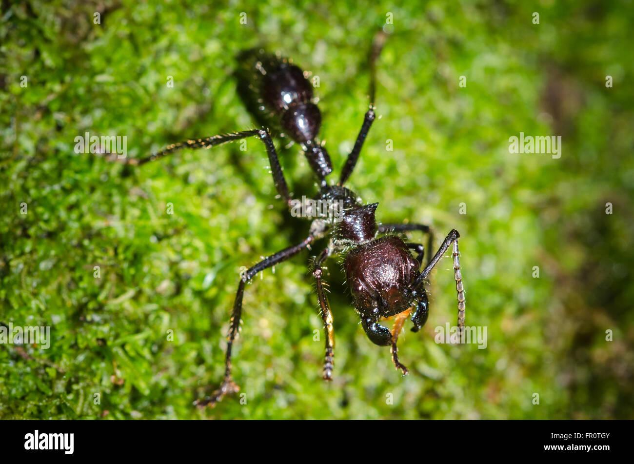 Bullet Ant (Paraponera clavata), Rara Avis, Costa Rica Stock Photo