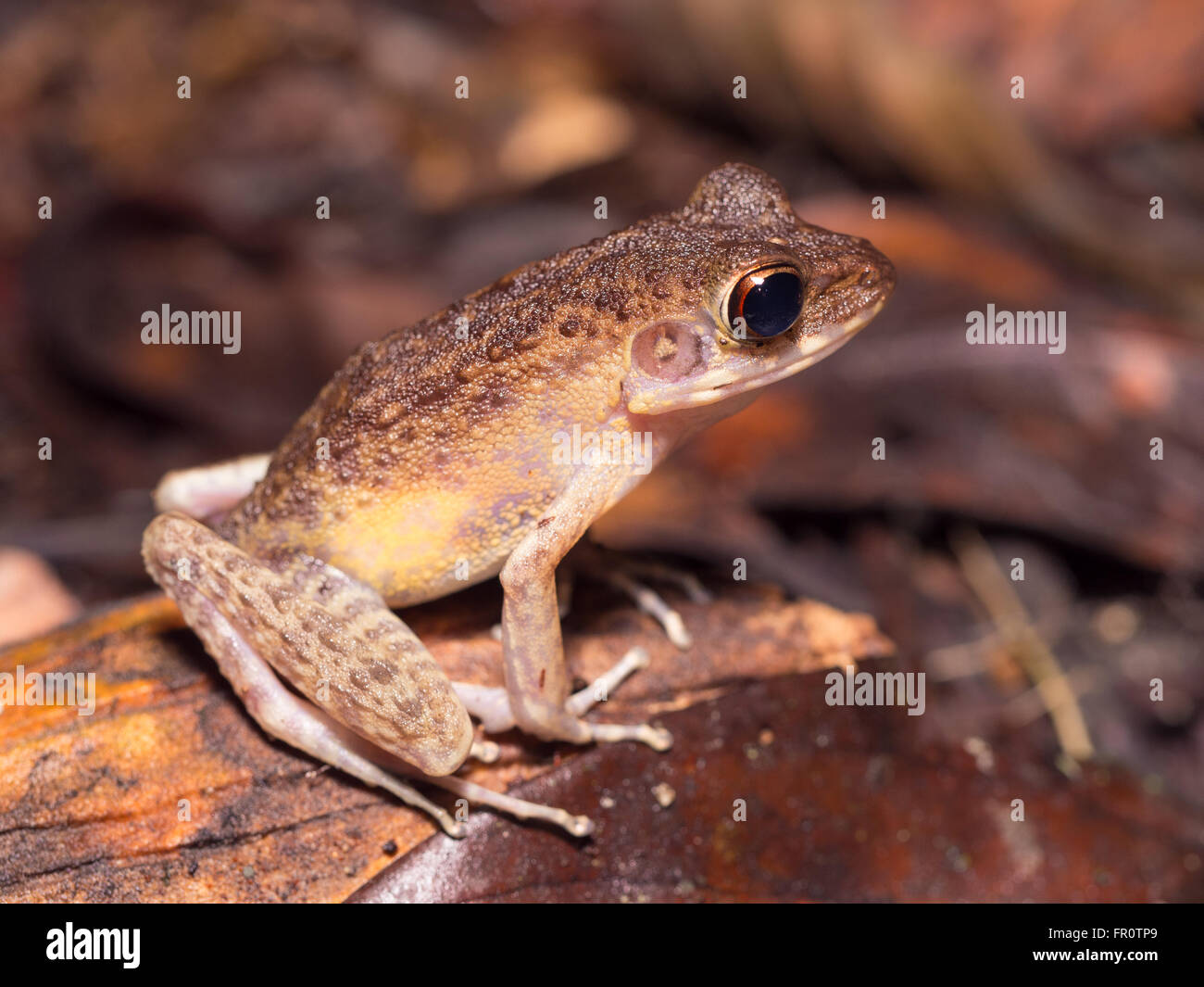 Borneo Brown Marsh Frog, Hylarana baramica Gunung Mulu, Borneo, Malaysia - Stock Image