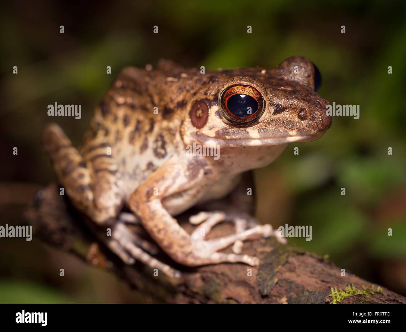 Rough-sided Frog (Hylarana glandulosa) Gunung Mulu, Borneo - Stock Image