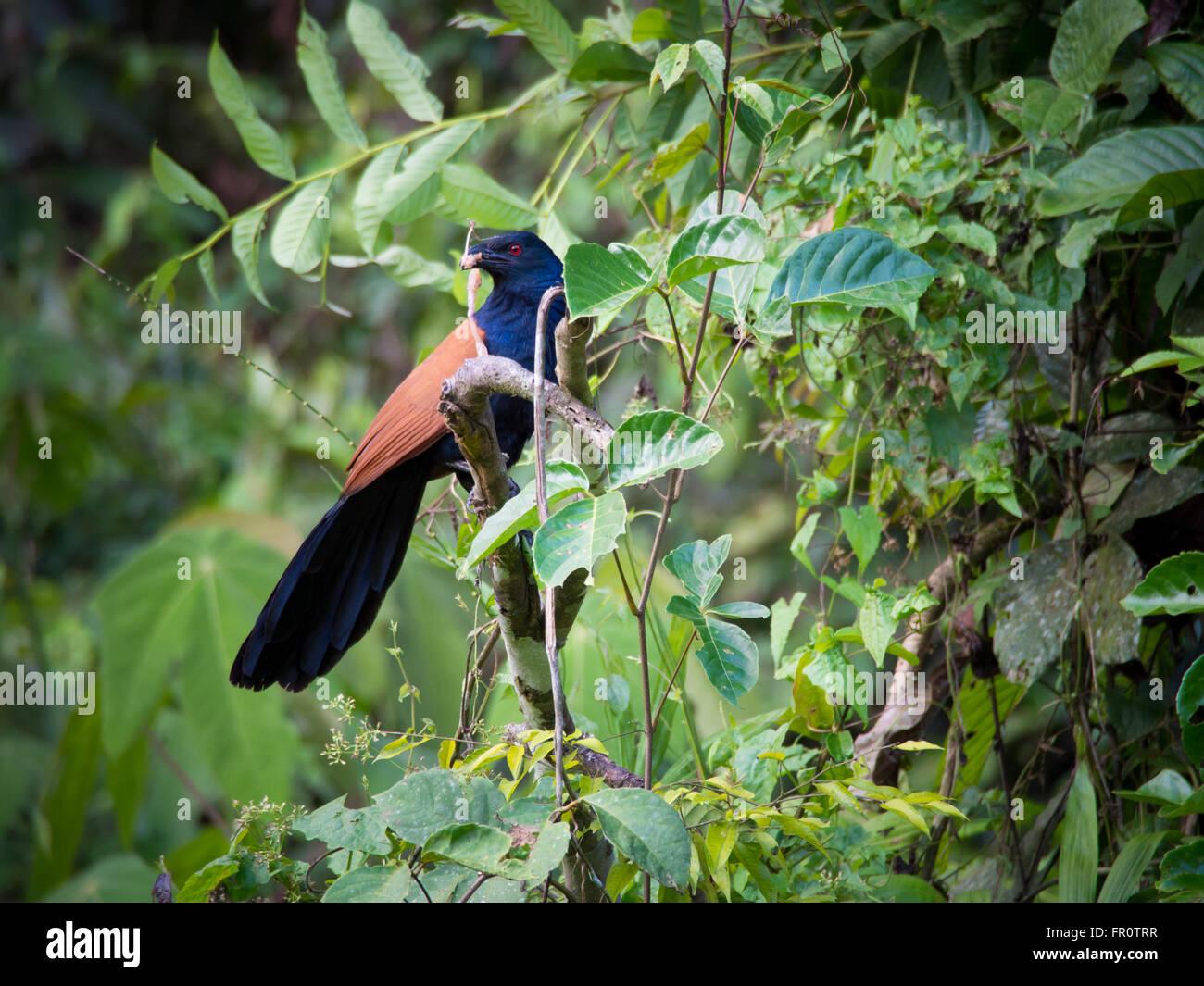 Greater Coucal (Centropus sinensis), Tawau Hills, Sabah, Malaysia - Stock Image
