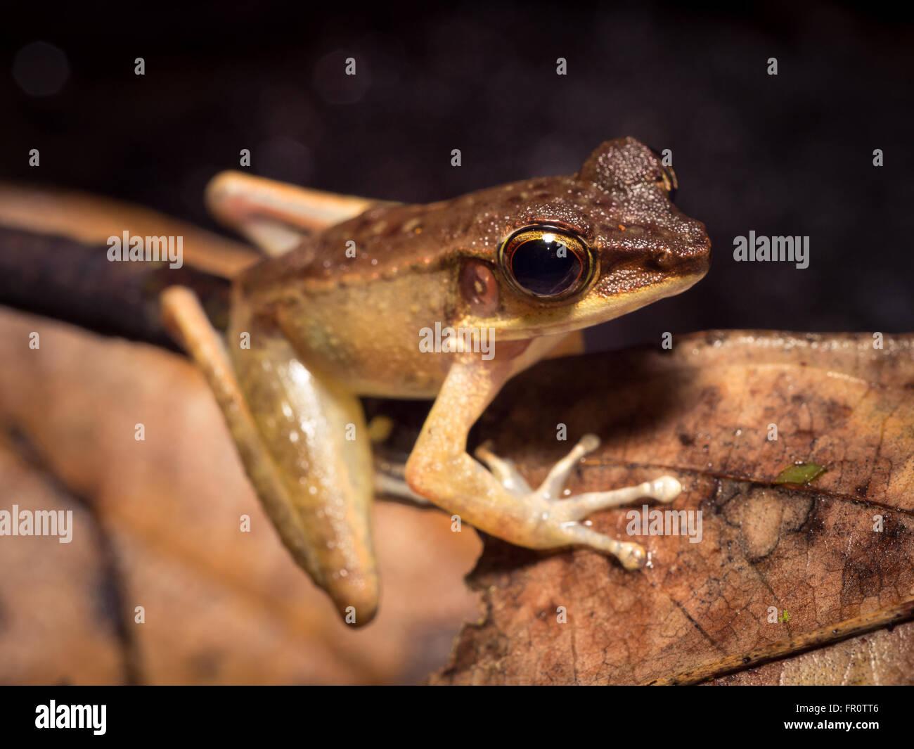 Borneo Cricket Frog (Hylarana nicobariensis) Tawau Hills Park, Borneo, Malaysia - Stock Image