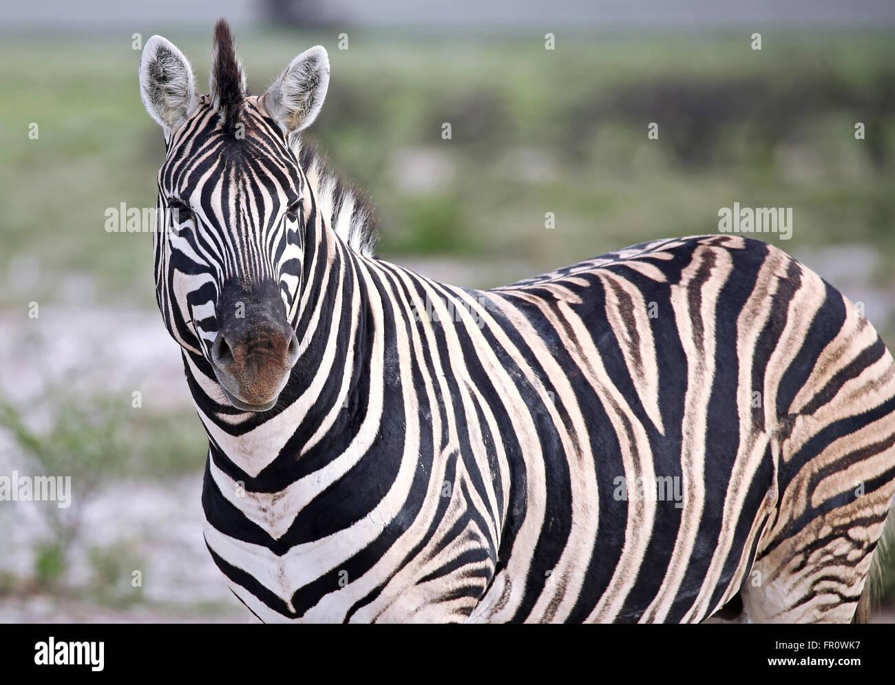 Plains Zebra, Equus quagga, Etosha, Namibia - Stock Image