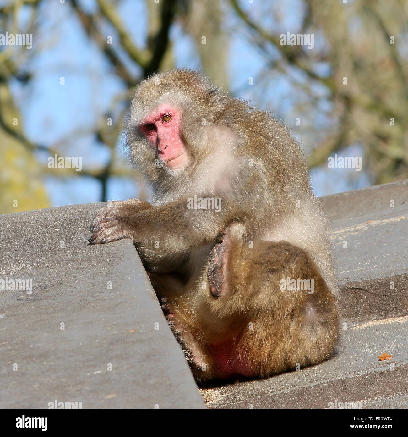 Japanese macaque or Snow monkey (Macaca fuscata) relieving an itch, scratching with his left foot - Stock Image