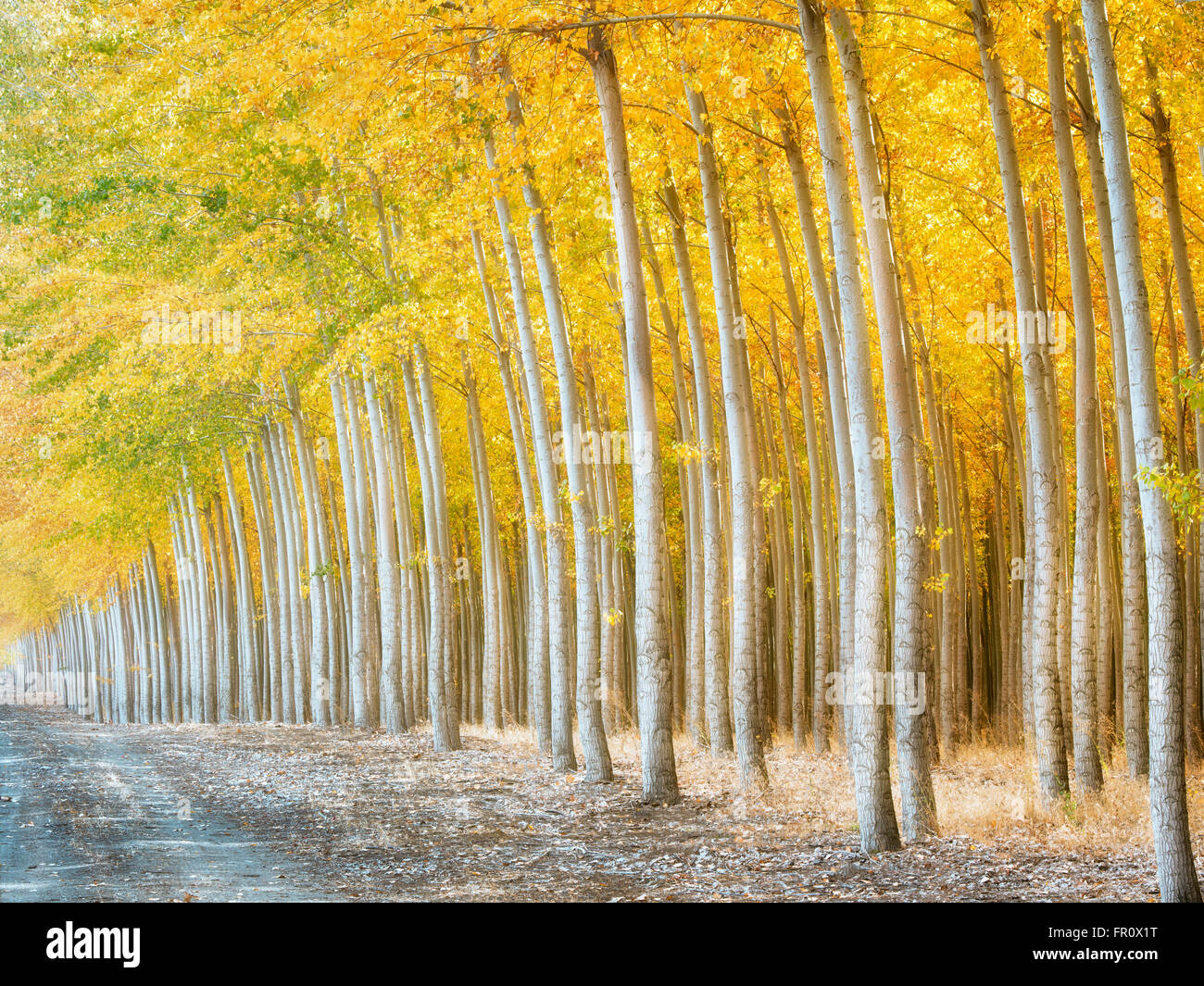 Pacific Albus (Poplar) tree farm, Boardman Tree Farm, Oregon - Stock Image