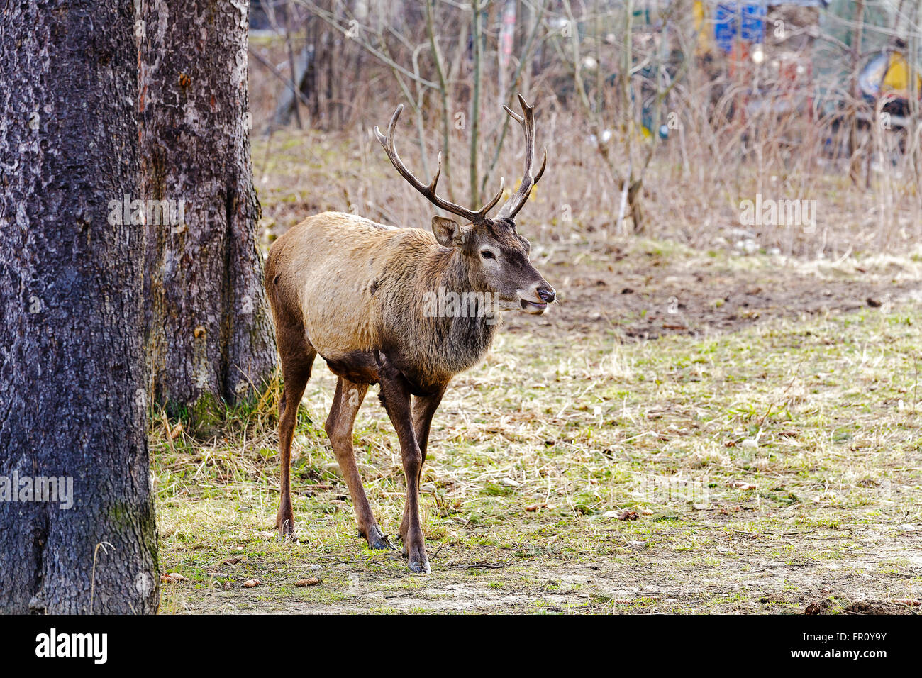 The deer next to trees - Stock Image