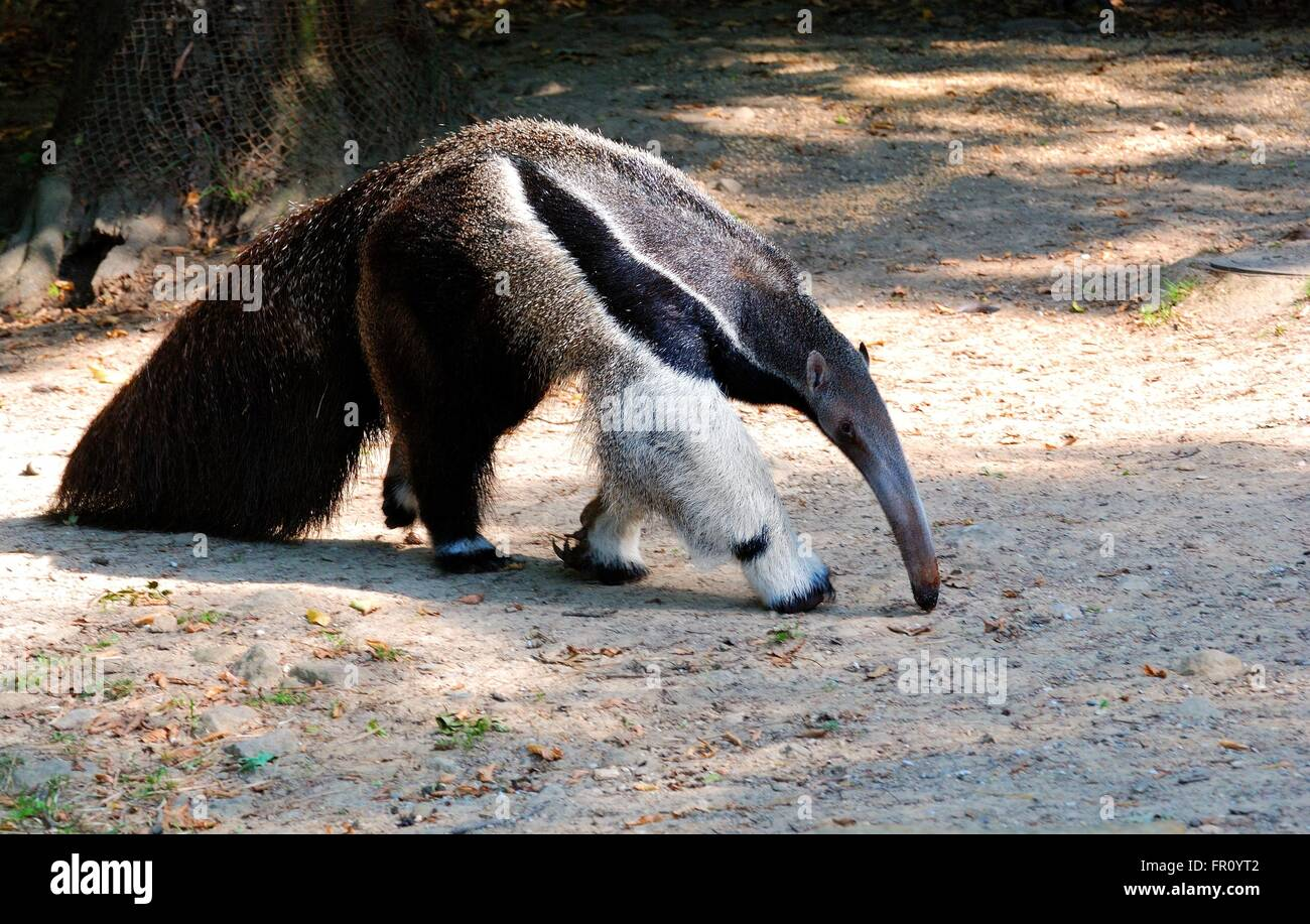 Ant-eater - Stock Image