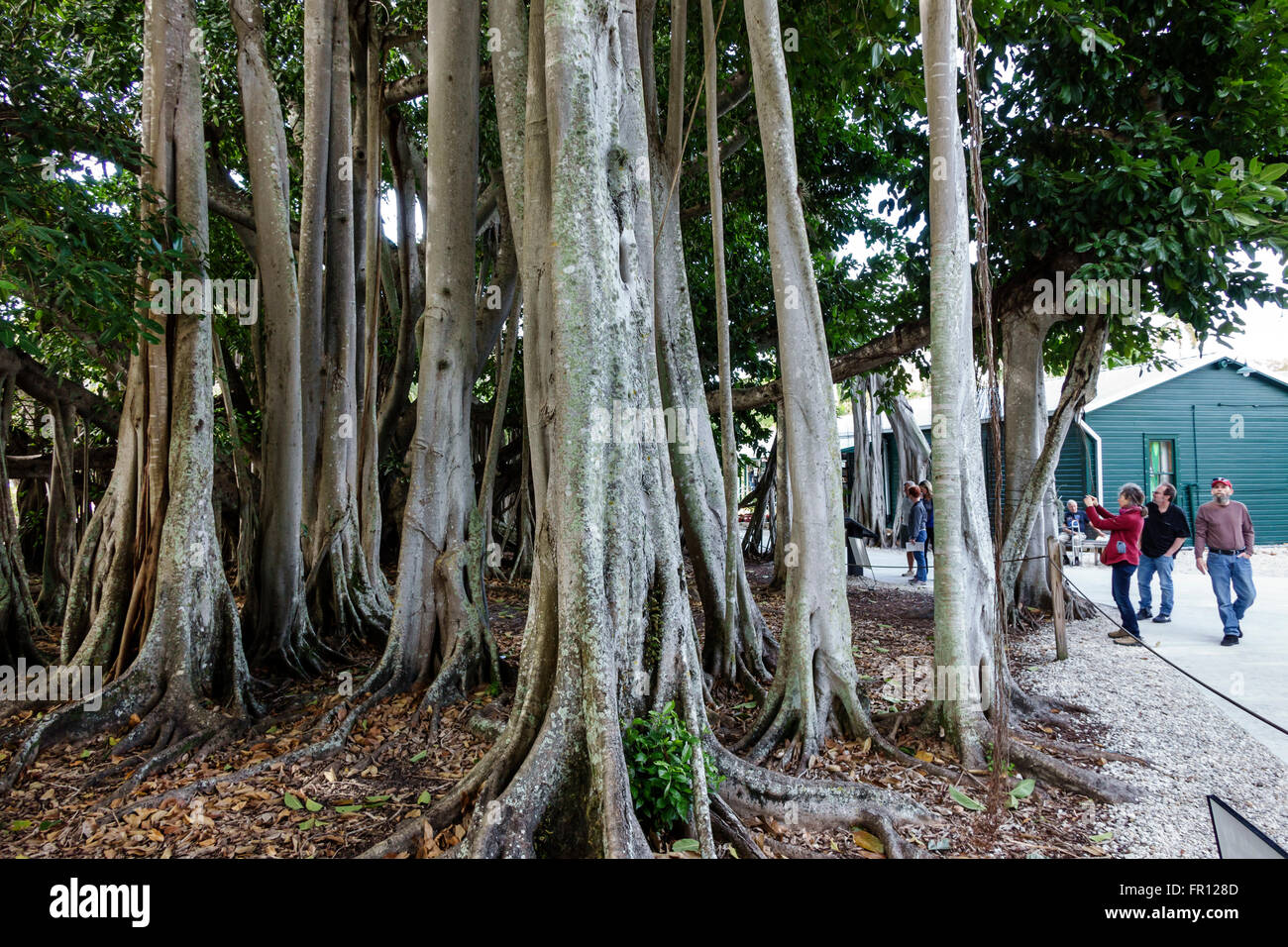 Florida FL Fort Ft. Myers Thomas Edison and Henry Ford Winter Estates historical museum giant banyan tree adventitious - Stock Image