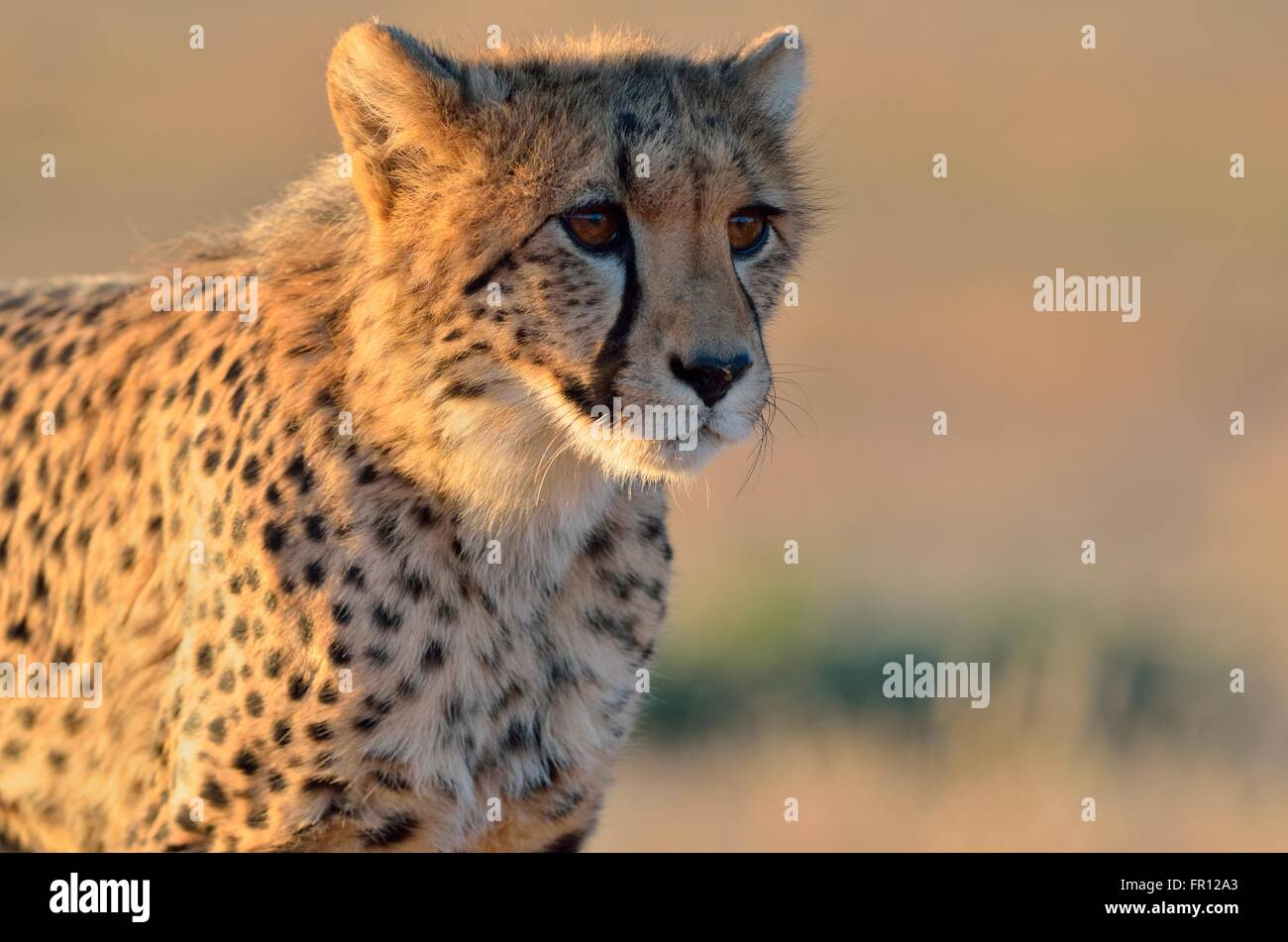 Young cheetah (Acinonyx jubatus), alert, in the evening light, Kgalagadi Transfrontier Park, Northern Cape, South - Stock Image