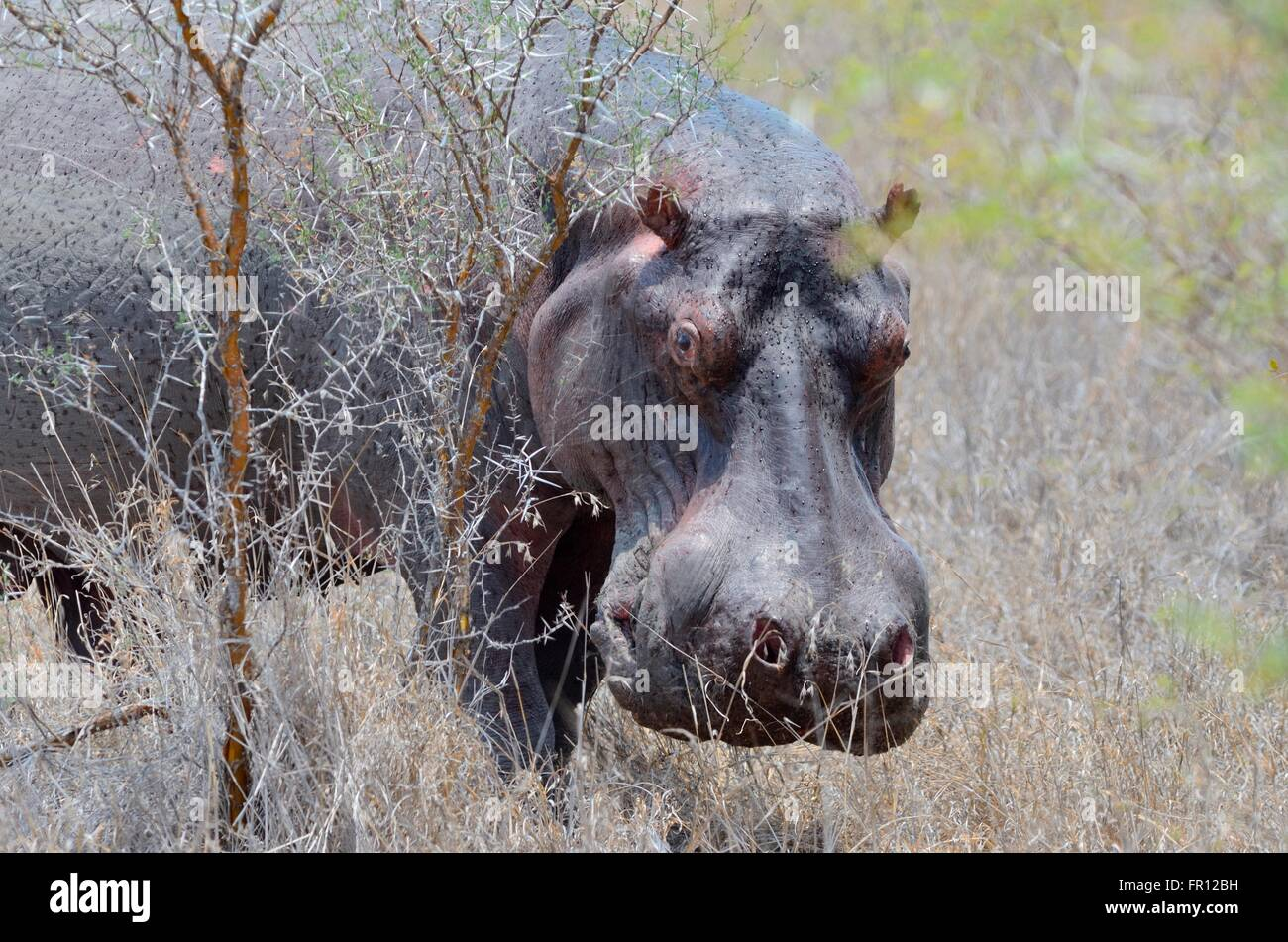 Hippopotamus (Hippopotamus amphibius), adult male, sweating, in dry grass, Kruger National Park, South Africa, Africa - Stock Image