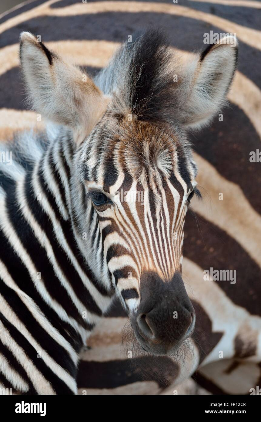 Burchell's zebra or Plains zebra (Equus quagga), foal, portrait, Kruger National Park, South Africa, Africa - Stock Image