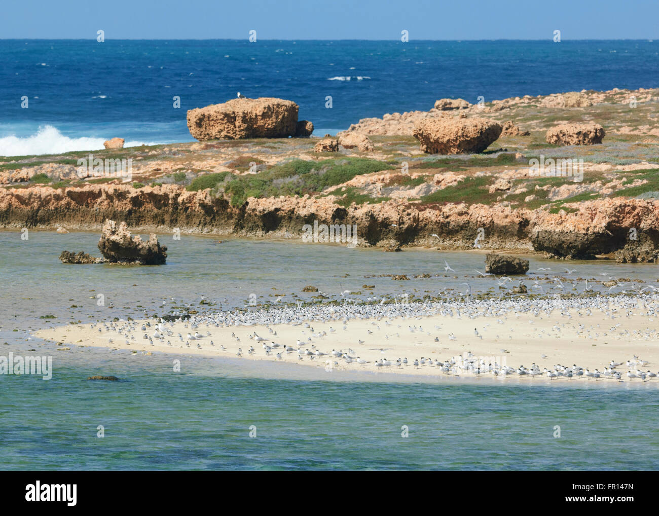Seagulls on a Sand Bar, Red Bluff, Point Quobba, near Carnarvon, Coral Coast, Gascoyne Region, Western Australia - Stock Image