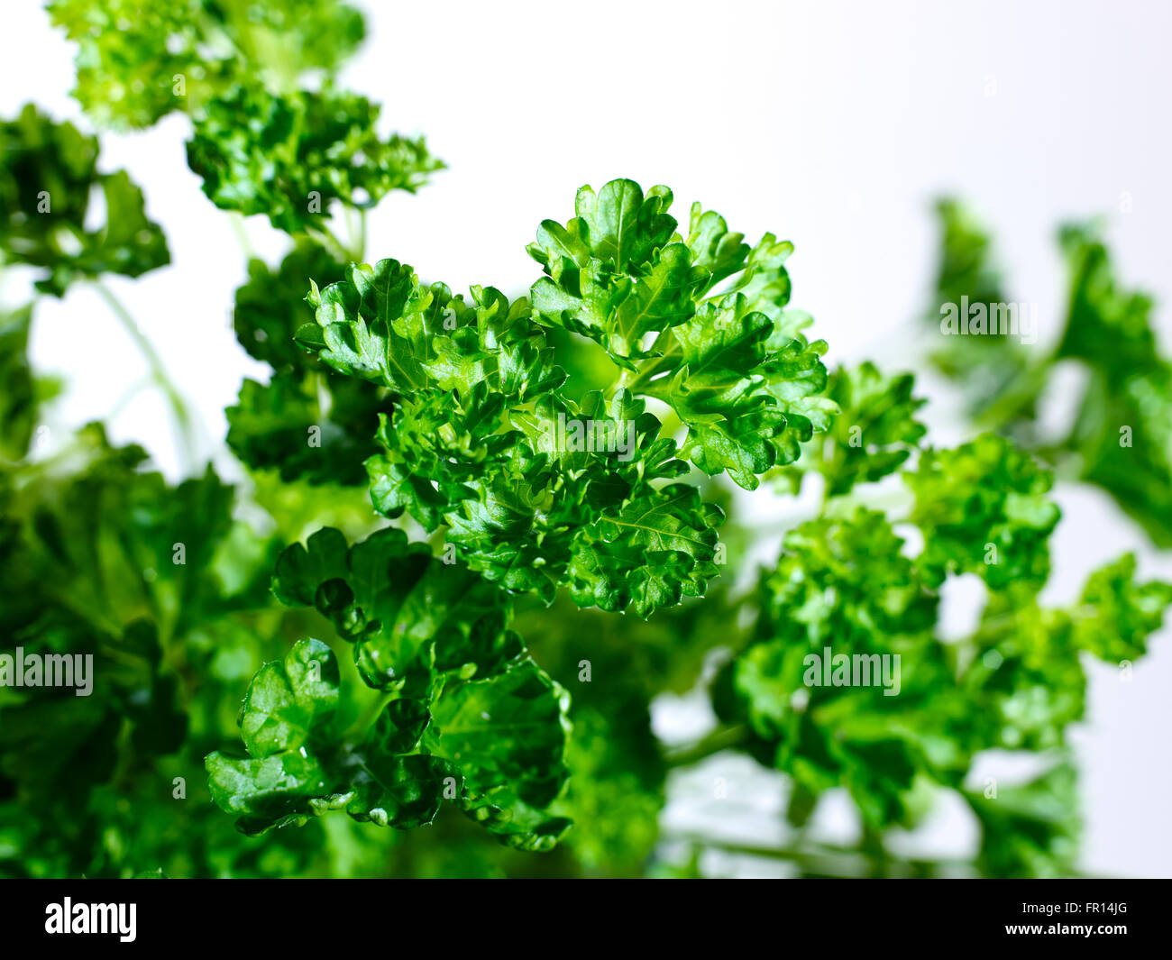 A studio photo with whith background of parsley - Stock Image