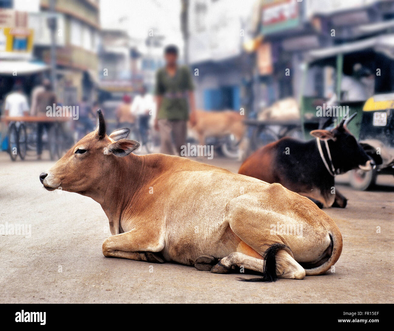 A cow resting in the middle of the street, people walking around in Manali, India on 31 December 2003 - Stock Image