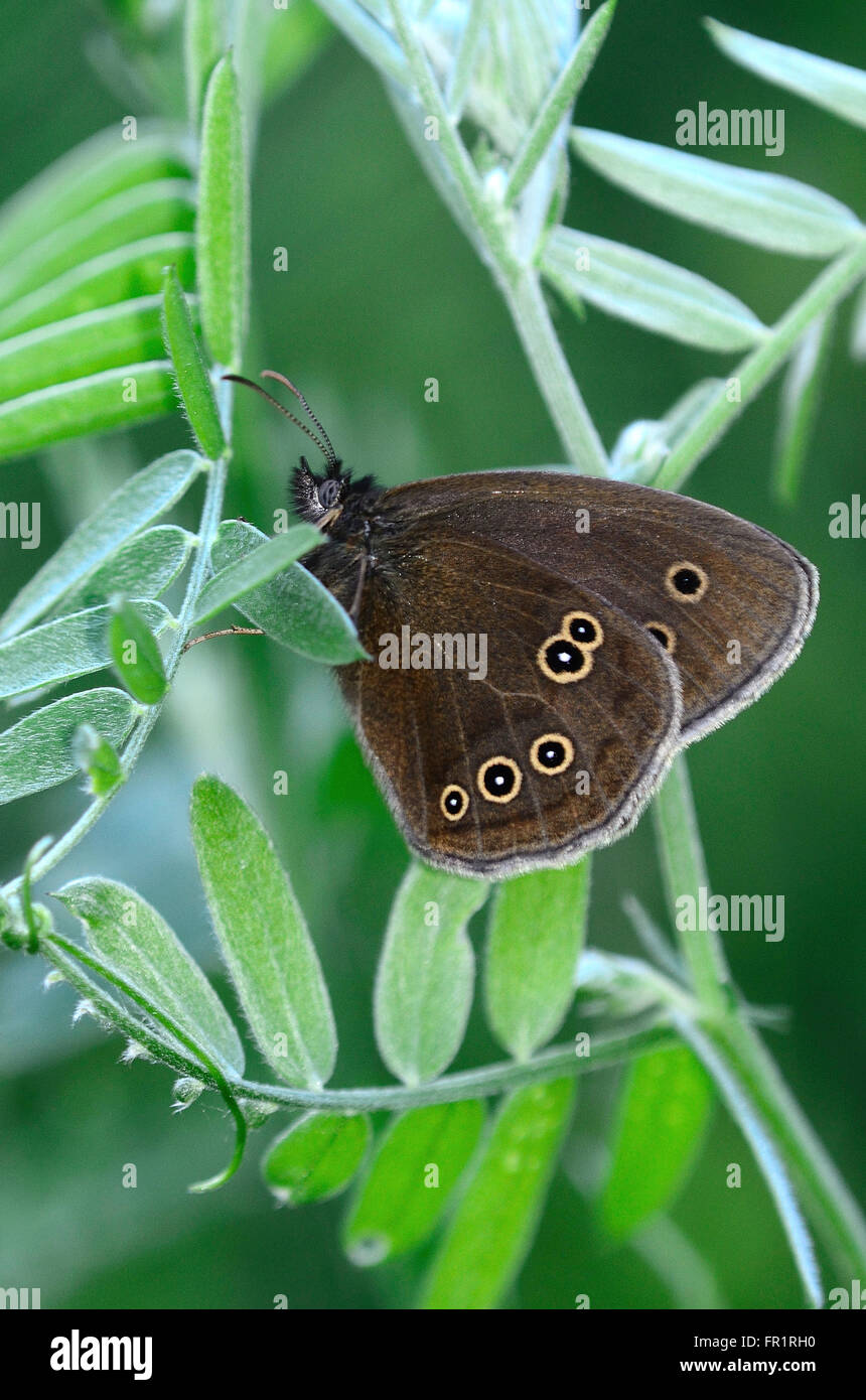 Ringlet butterfly at rest. Dorset, UK June 2014 - Stock Image