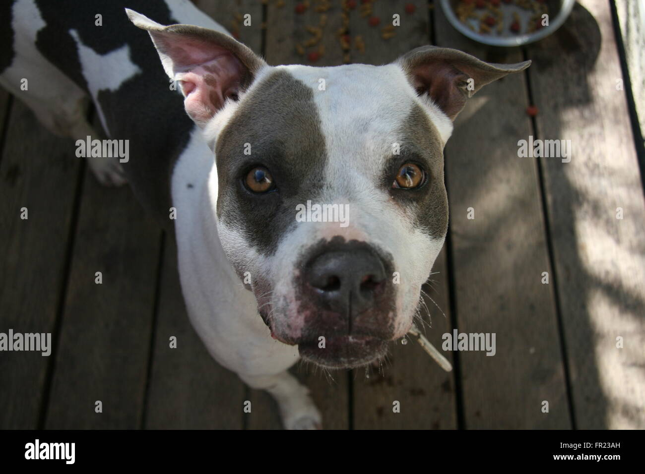 PitBull - Stock Image