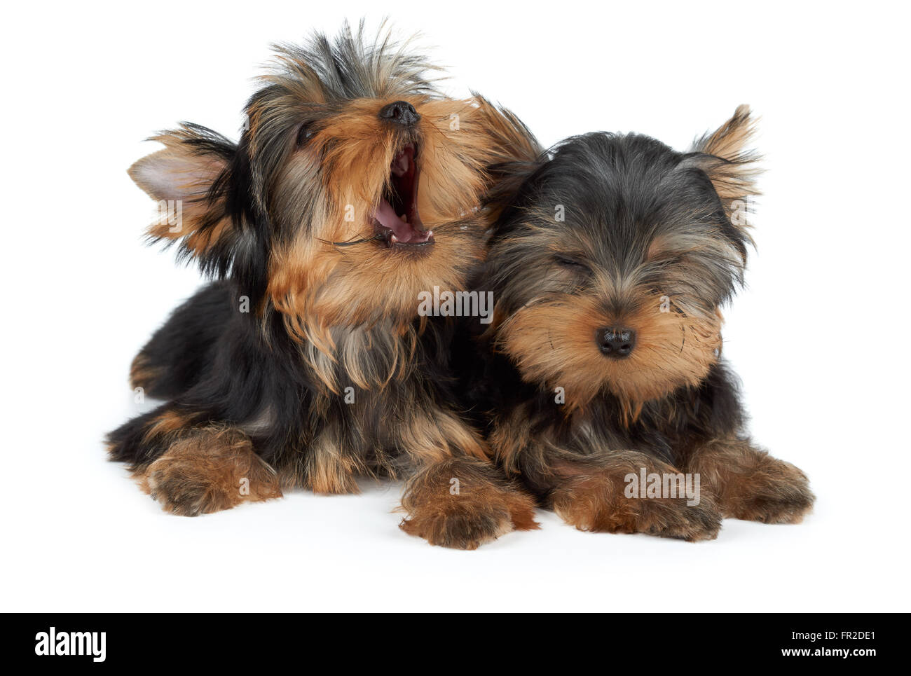Two puppies of the Yorkshire Terrier. One puppy yawns, the other closed eyes. - Stock Image