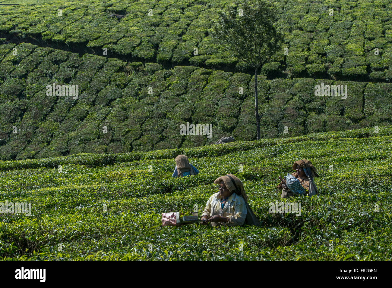 Tea Estate Female Workers Picking Tea, Western Ghats - Stock Image