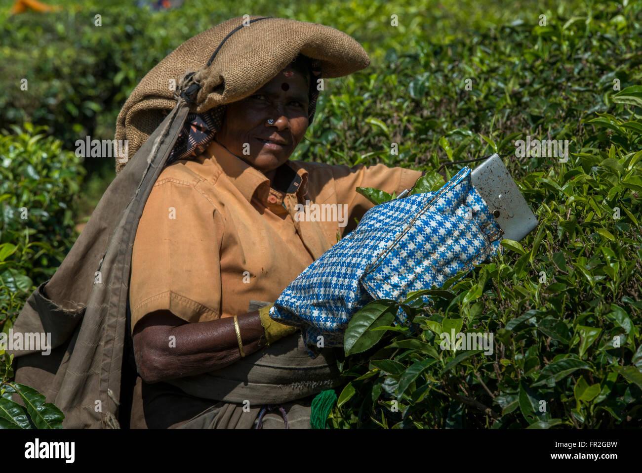 Tea Estate Female Worker Picking Tea, Western Ghats - Stock Image