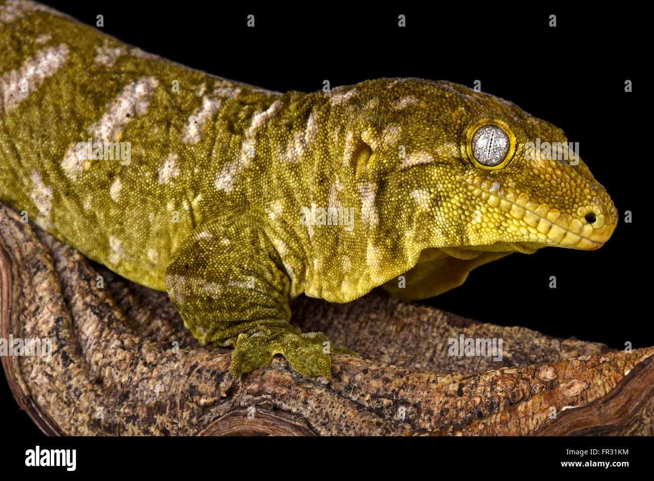 Giant gecko (Rhacodactylus laechianus) - Stock Image