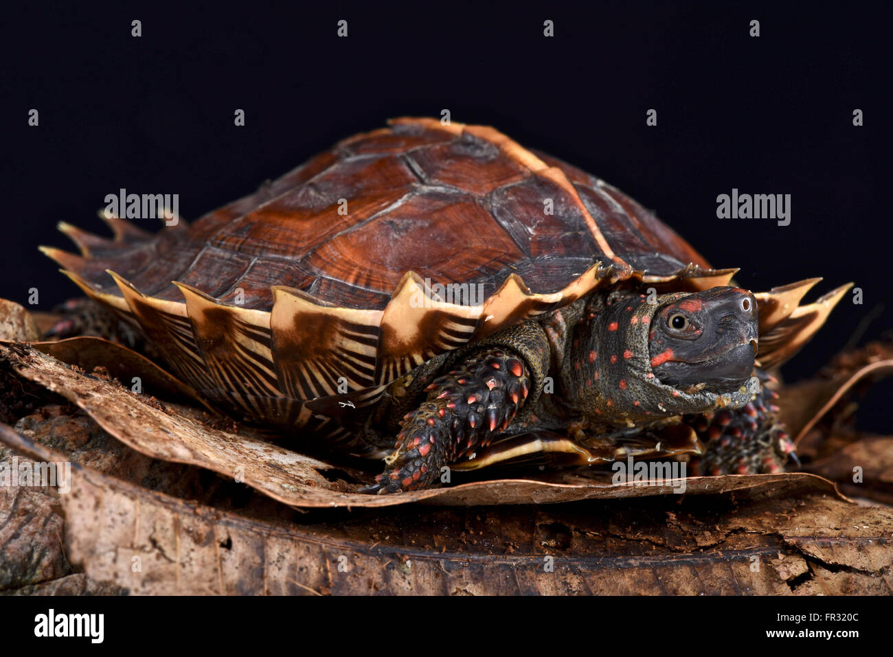 Spiny turtle (Heosemys spinosa) - Stock Image