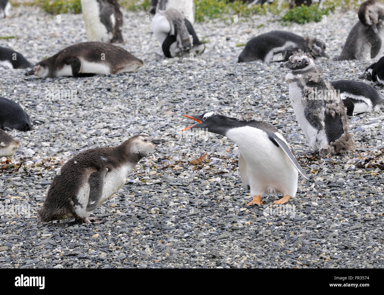 An adult Gentoo Pegnguin (Pygoscelis papua) appears to be reprimanding a young Magellanic Penguin (Spheniscus magellanicus) - Stock Image