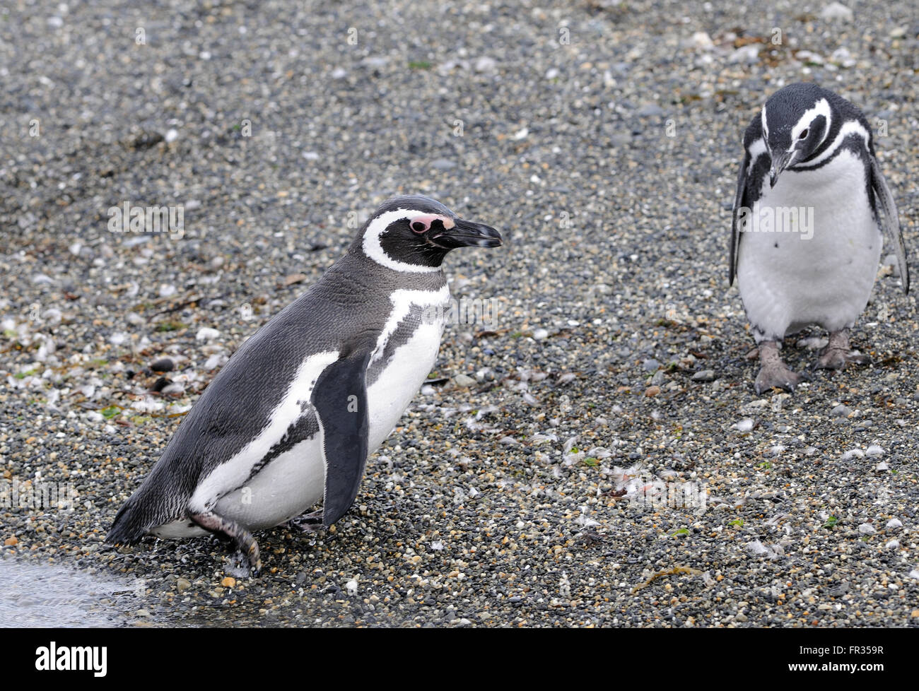 Magellanic Penguins (Spheniscus magellanicus) at their breeding colony on Isla Martillo in the Beagle Channel. - Stock Image