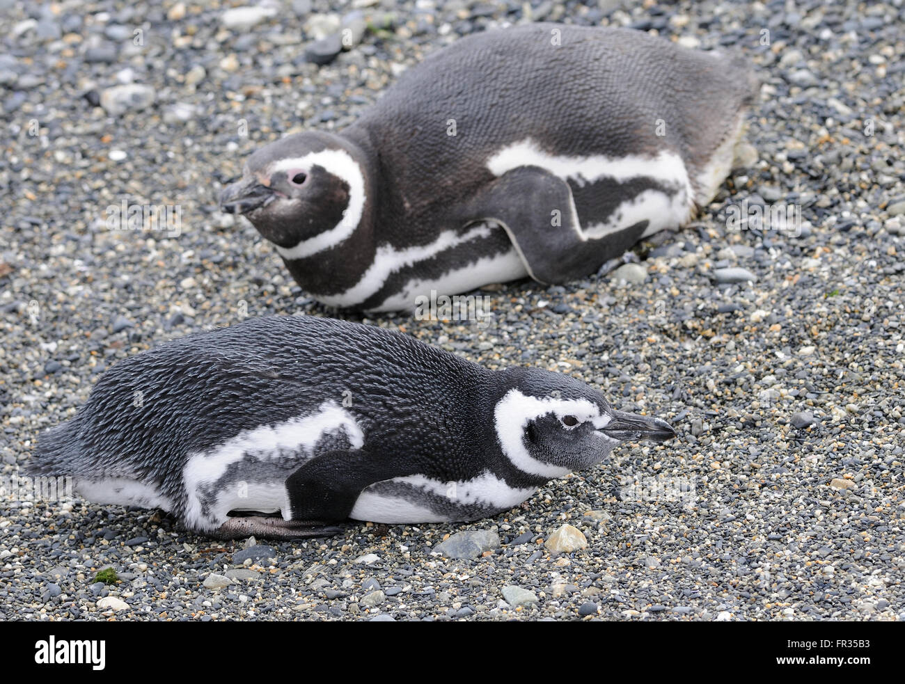 Magellanic Penguins (Spheniscus magellanicus) resting at their breeding colony on Isla Martillo in the Beagle Channel. - Stock Image