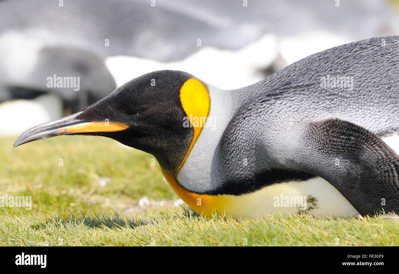 A king penguin (Aptenodytes patagonicus) rests on the beach near  the breeding colony at Salisbury Plain. South Stock Photo
