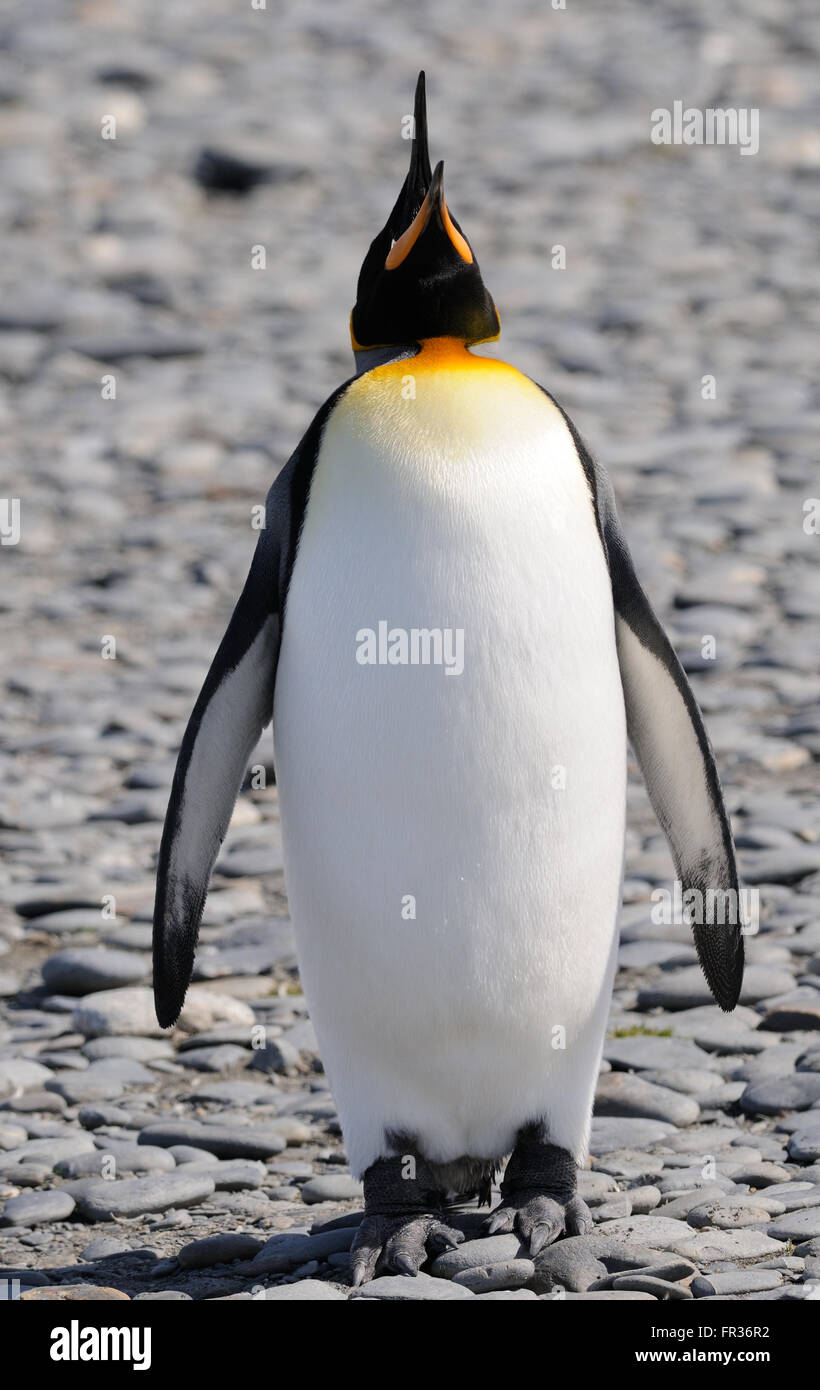 A king penguin (Aptenodytes patagonicus) calls on the beach near  the breeding colony at Salisbury Plain. South - Stock Image