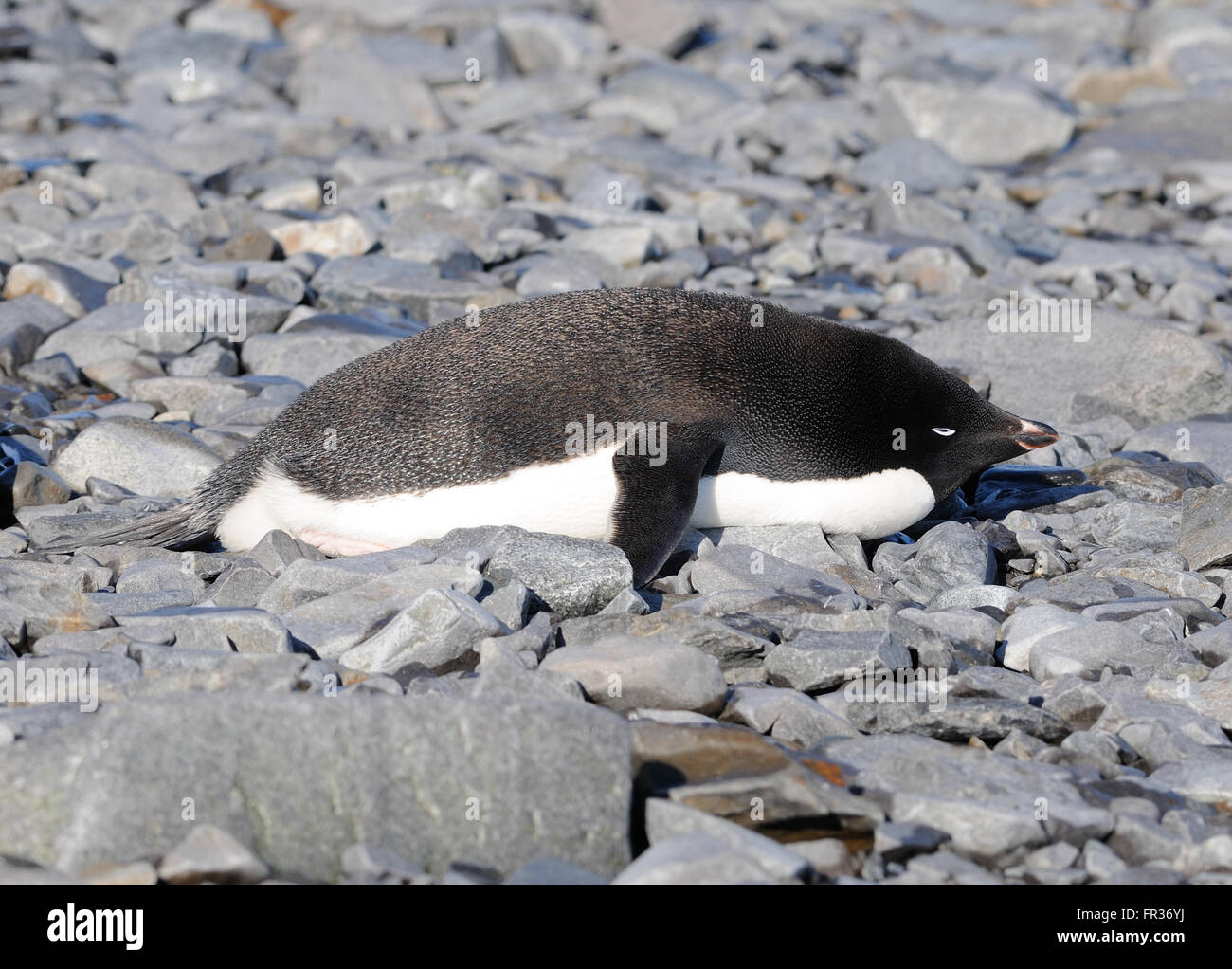 An Adélie penguin (Pygoscelis adeliae) relaxes on the beach at Hope Bay. Hope Bay, Antarctica. - Stock Image