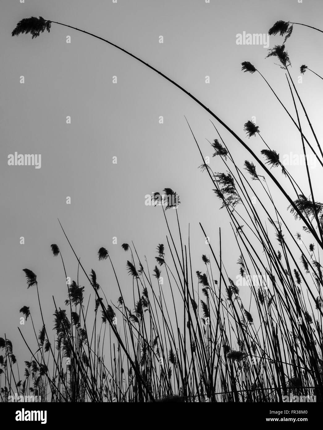Silhouette of a Common Reed bed (Phragmites australis) in black and white - Stock Image