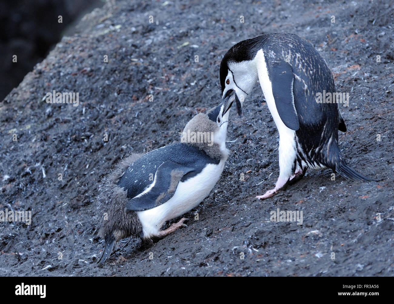 A young Chinstrap Penguin (Pygoscelis antarctica), almost fully moulted into adult plumage is fed by an adult.  - Stock Image