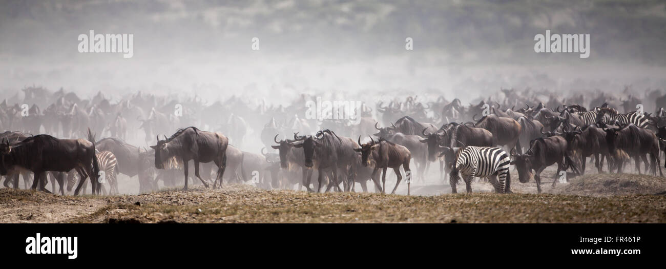 Serengeti great migration with wildebeests and zebras moving across a dry and dusty lake bed. - Stock Image