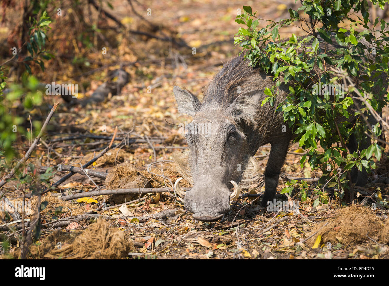 Close up of a warthog (Phacochoerus africanus) in undergrowth, Sandibe Camp, by the Moremi Game Reserve, Okavango - Stock Image