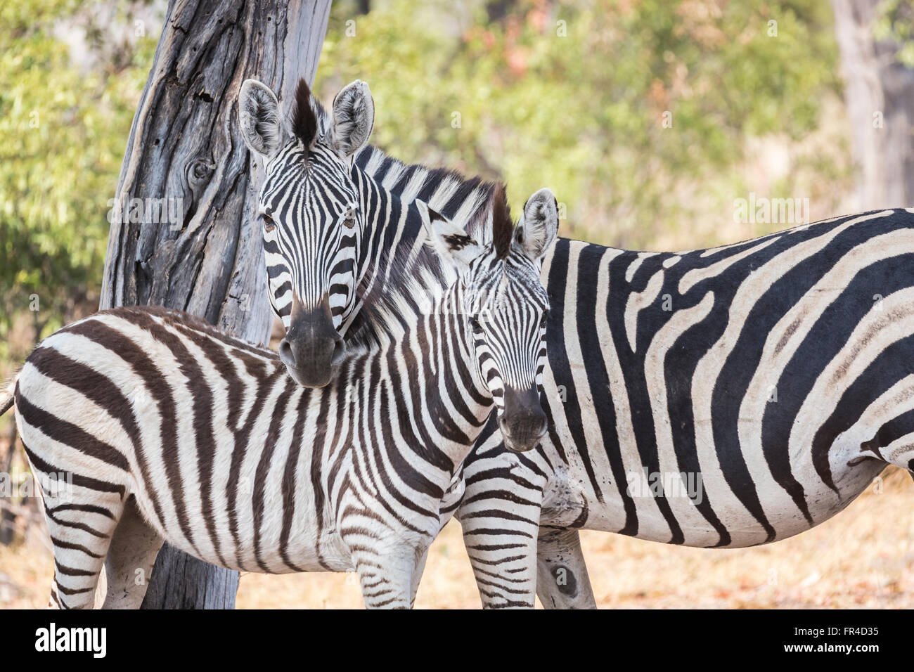 Mother and foal plains or Burchells zebra (Equus quagga burchellii), Sandibe Camp, by the Moremi Game Reserve, Okavango - Stock Image