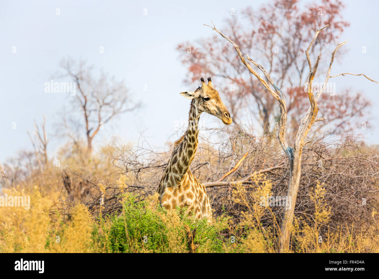 Southern giraffe (Giraffa camelopardalis) standing in woodland, Sandibe Camp, adjacent to the Moremi Game Reserve, - Stock Image