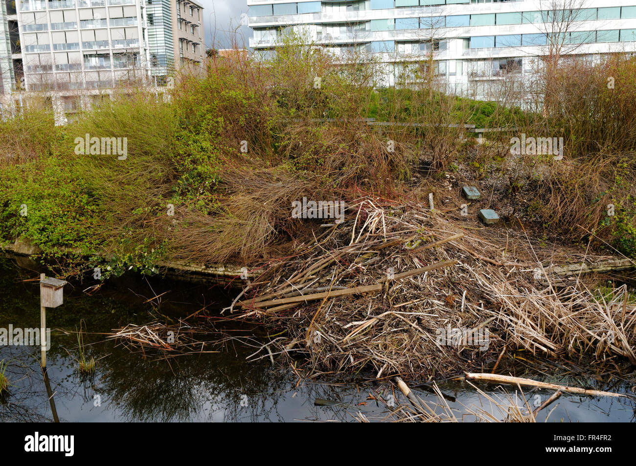 Beaver lodge and beaver dam in Hinge Park or Olympic Village park, Vancouver, British Columbia, Canada - Stock Image
